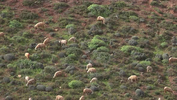 Thumbnail for Herd of Sheep Grazing in Morocco, Africa