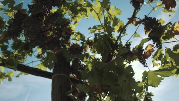 Thumbnail for Grape Vine with Berries Hanging on Props at Vinery