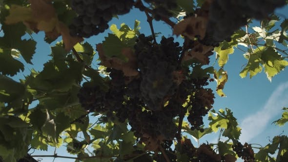 Thumbnail for Grape Plants with Berries Hanging on Mainstays at Vinery