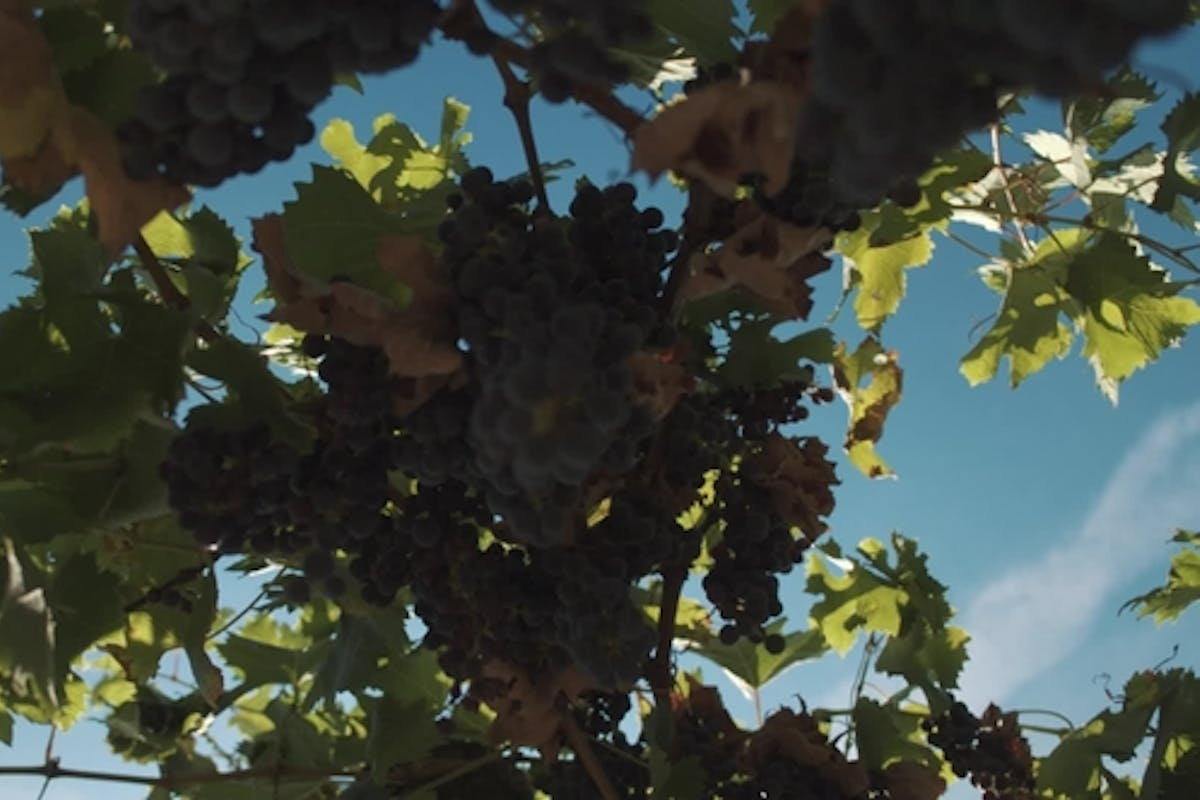 Grape Plants With Berries Hanging On Mainstays At Vinery By