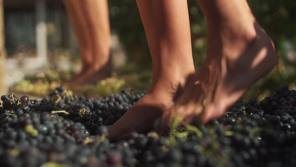 Two Pair of Female Feet Stomps Grapes at Winery Making Wine