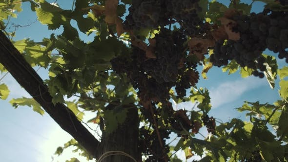 Thumbnail for Grape Vine with Berries Hanging on Supports at Vinery