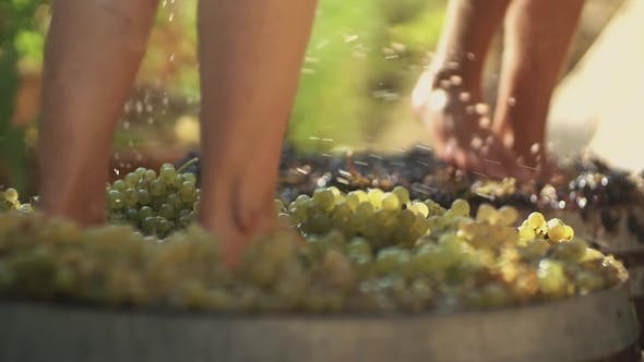 Two Pair of Male Legs Stomps Grapes at Winery Making Wine