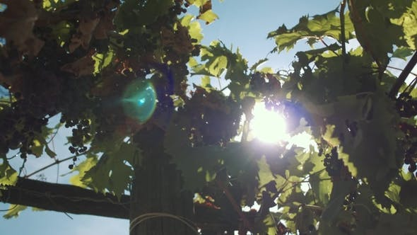 Thumbnail for Grape Herbs with Berries Hanging on Mainstays at Vinery