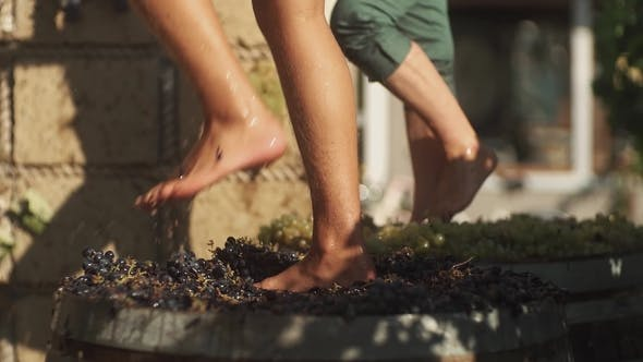 Thumbnail for Two Pair of Men Feet Stomps Grapes at Winery Making Wine