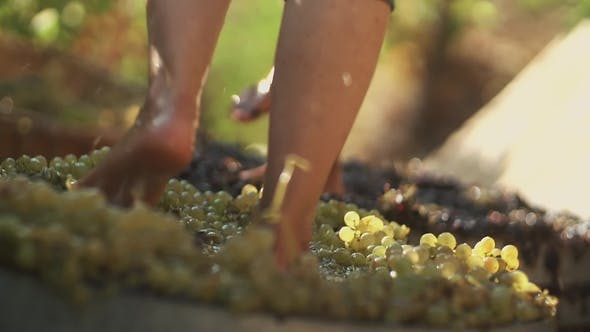 Two Pair of Men Legs Squeezes Grapes at Winery Making Wine