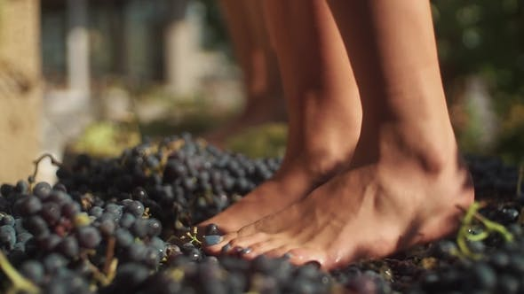 Two Pair of Women Feet Stomps Grapes at Winery Making Wine