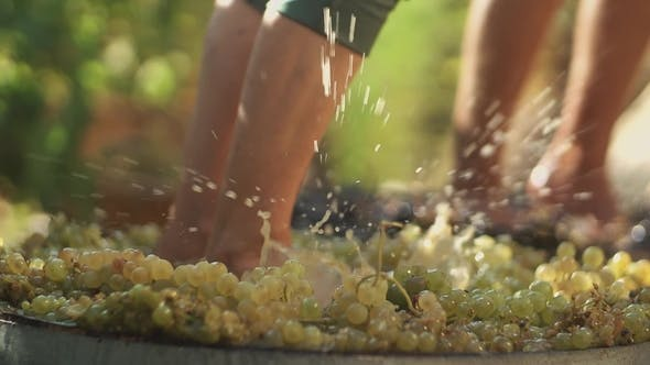 Two Pair of Men Legs Stomps Grapes at Winery Making Wine