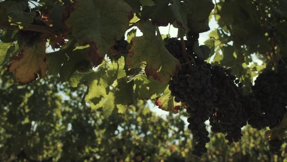 Thumbnail for Grape Plants with Berries Hanging on Construction at Vinery