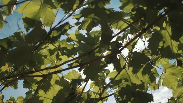 Thumbnail for Grape Vine with Berries Hanging on Construction at Vinery