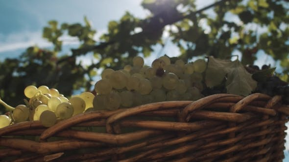 Thumbnail for Wicker Basket with Grapes on Table at Vinery Yard