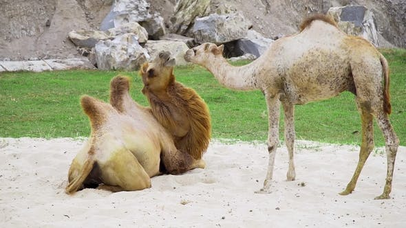 Thumbnail for Camels Play Together on the Sand and Have a Rest, Animals in the Zoo, Camels in the Tropical Park