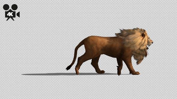 Thumbnail for 4K Lion Fast Walk