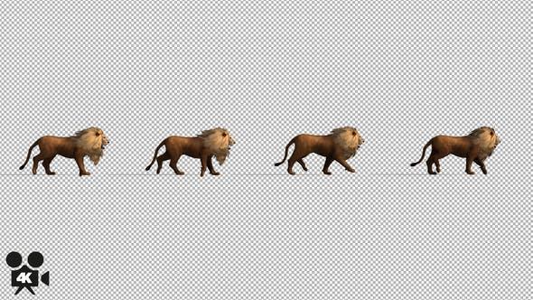 4K Lion Fast Walking