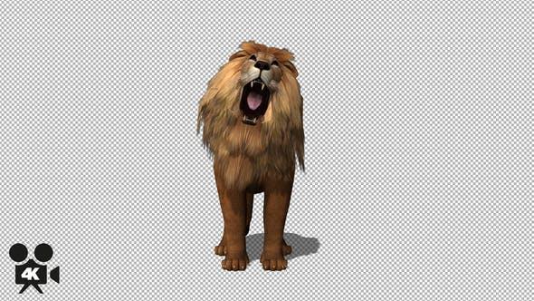 4K Lion Howl to Camera