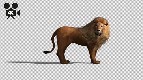 Thumbnail for 4K Lion Idle