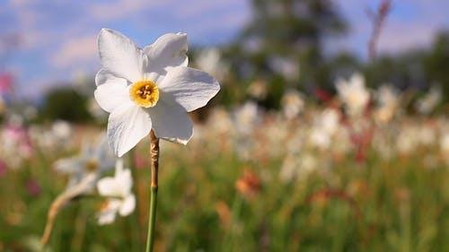 White Daffodil Flower in Spring Field