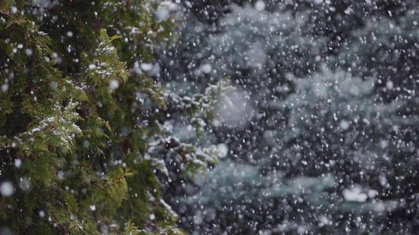 Thumbnail for Falling Snow Snowfall in the Spruce Pine Forest Wonderland, Winter