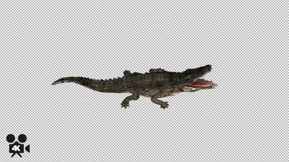 Thumbnail for 4K Crocodile - Alligator Rolling - Top View