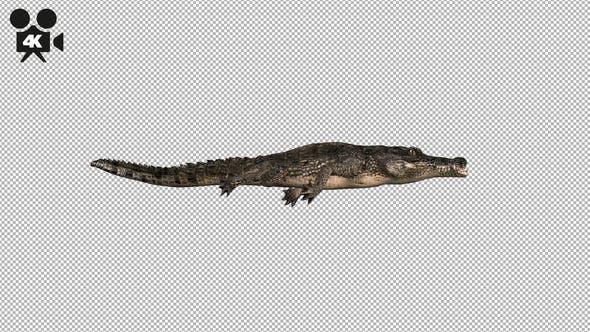 Thumbnail for 4K Crocodile - Alligator Swimming