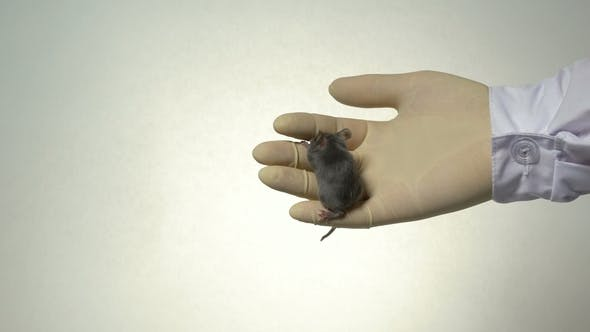 Thumbnail for a Scientist Holds a Gray Laboratory Mouse on His Arm