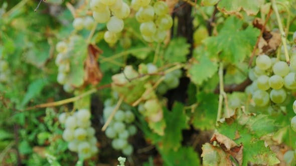 Cover Image for Bunches of Ripe White Grapes. Vineyard Near Lake Ontario, United States