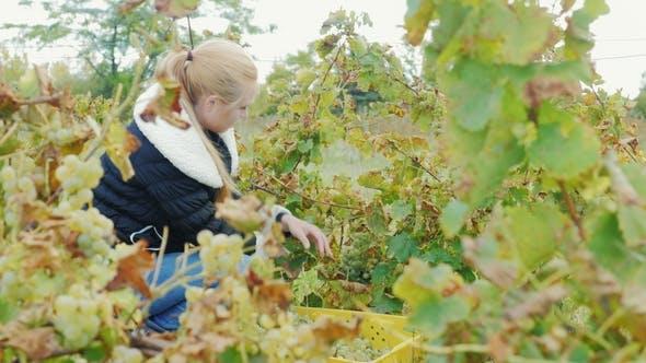 Thumbnail for Junge Frau, die im Weinberg arbeitet