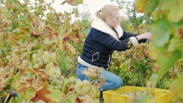 Young Woman Gathers the Grape Harvest
