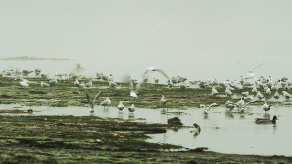 Thumbnail for Black-Headed Gulls and Ducks in Winter Plumage