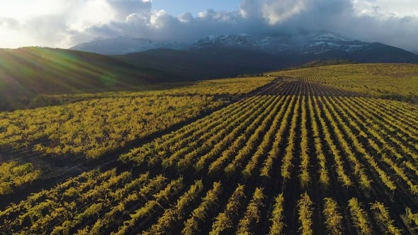 Thumbnail for Flying Upward Over Green Vineyard in Autumn. Mountains on Background. Harvest Period. Aerial View