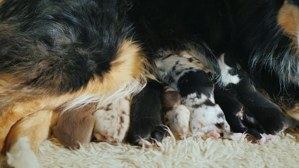 Thumbnail for A Large Sheepdog Feeds Puppies. Lies on a Soft Carpet on the Floor