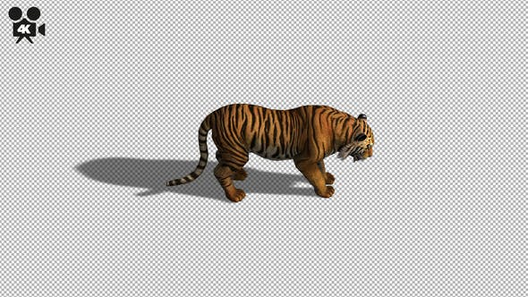 Thumbnail for 4K Tiger Eat Top View