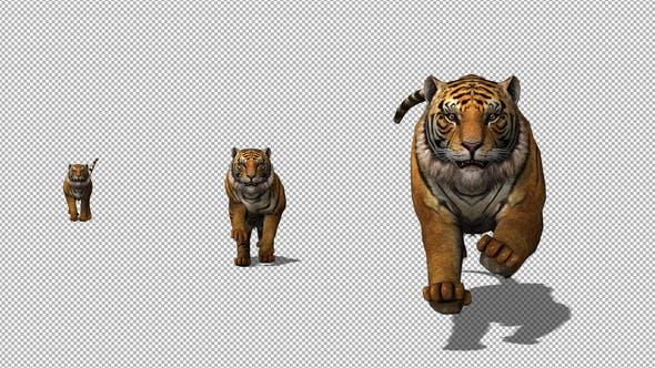 Thumbnail for 4K Tiger Run to Camera