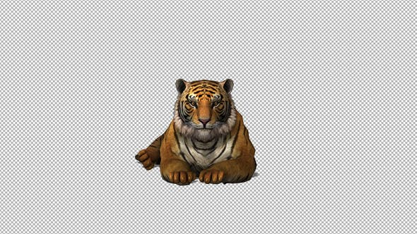 Thumbnail for 4K Tiger Sit Front View