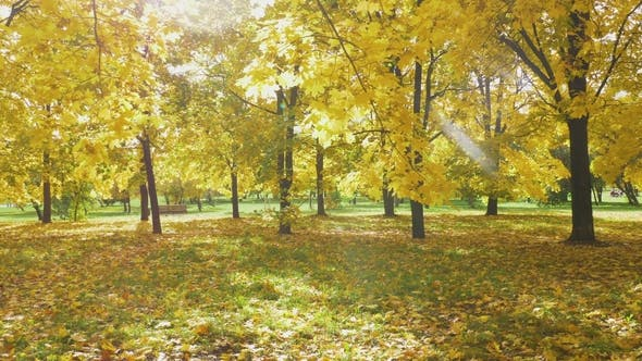 Thumbnail for Yellow Colorful Maple Leaves on Trees and Foliage on Ground in Park in Autumn at Sunny Day
