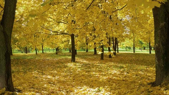 Thumbnail for Yellow Maple Trees and Foliage on Ground in Park in Autumn. Sunbeams Are Going Through Leaves