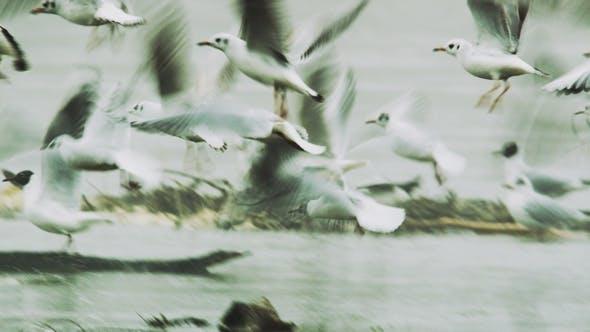 Thumbnail for Black-Headed Gulls Taking Flight and Flying Away