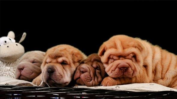 Thumbnail for Four Newborn Shar Pei Dog Pups in a Basket