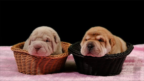 Thumbnail for Two Newborn Shar Pei Dog Pups in a Basket