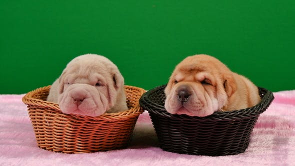 Thumbnail for Two Newborn Shar Pei Dog Pups in a Basket Green Screen
