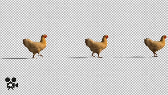 Thumbnail for 4K Chicken Walking