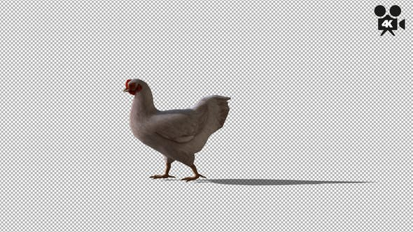 Thumbnail for 4K White Chicken Walking