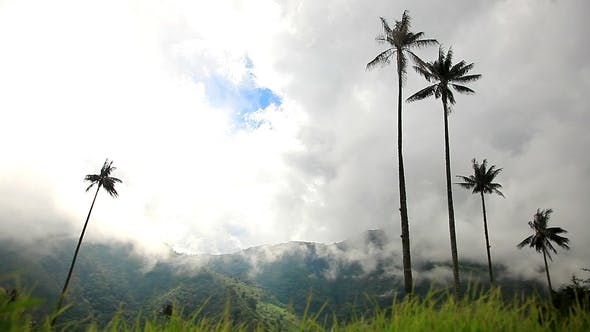 Colombian Palm Trees