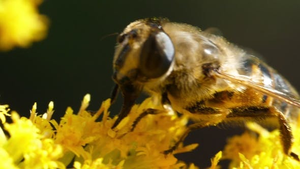 Thumbnail for Bee on Yellow Flower