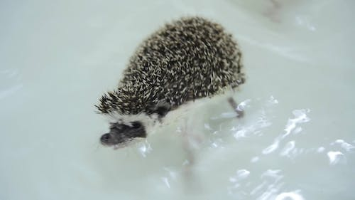 Sweet Pet Domesticated Hedgehogs Crawling in Water in White Bathtub