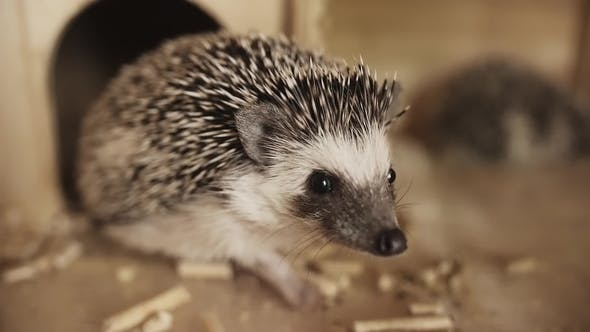 Thumbnail for Cute Pet Domesticated Hedgehog Sitting Near Small House in Cage