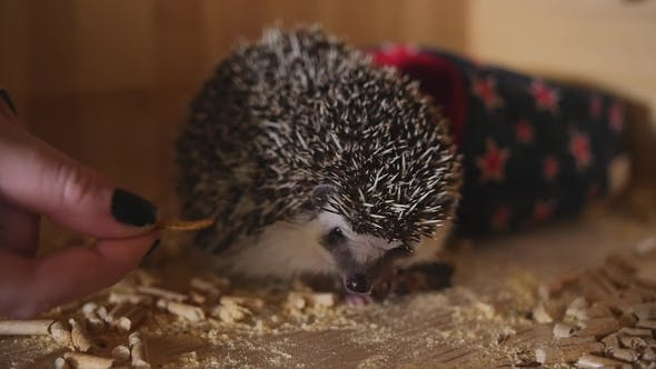 Spiked Pet Hedgehog Eating Cockroach Sitting in Wooden Cage