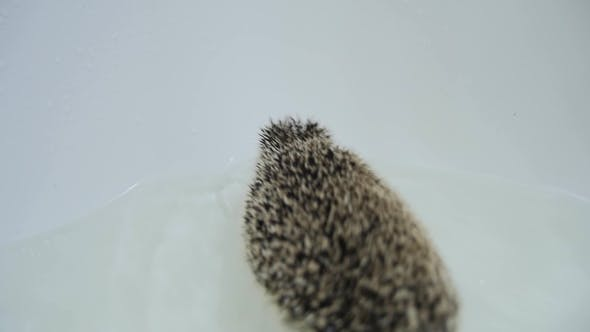 Energetic Pet Domesticated Hedgehogs Crawling in Water in White Bathtub
