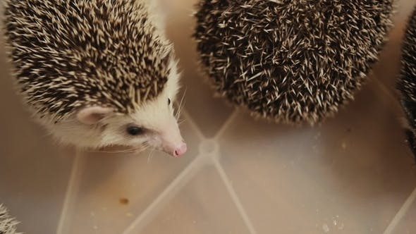 Couple of Houshold Hedgehogs Sitting in Plastic Box on Floor in Apartment