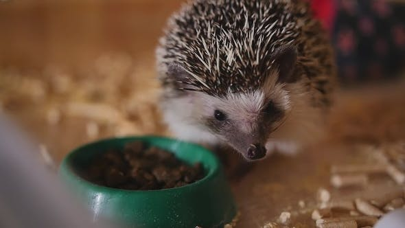 Thumbnail for Little Pet Hedgehog Eating Food Sitting in Wooden Cage